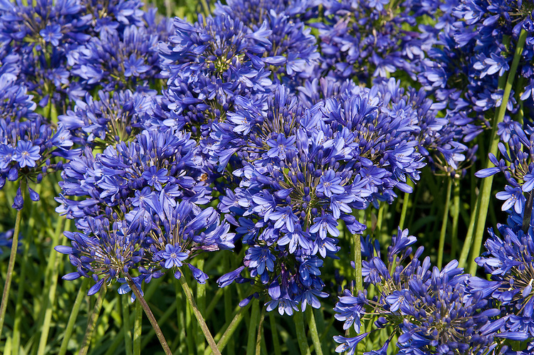 Agapanthus, early July.