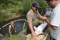 Europe/France/Aquitaine/33/Gironde/Bassin d'Arcachon/Biganos: Elevage d'Esturgeons du Moulin de la Cassadotte - Producteur Francais de Caviar-les Esturgeons d'élevage subissent des biopsies de façon a déterminer la présence des oeufs qui donneront le cavia