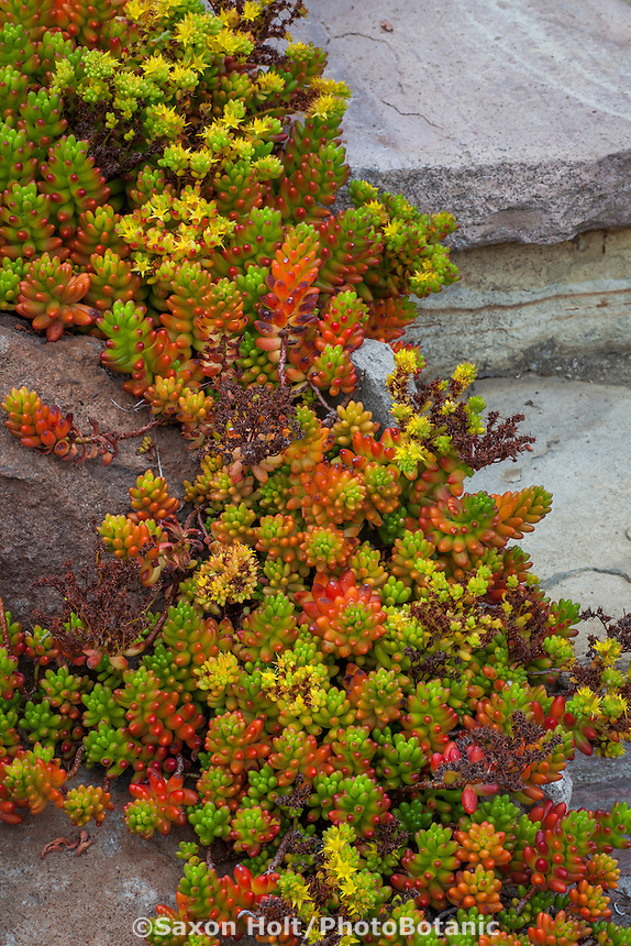 Sedum rubrotinctum, Pork and Beans succulent by stone steps in California garden