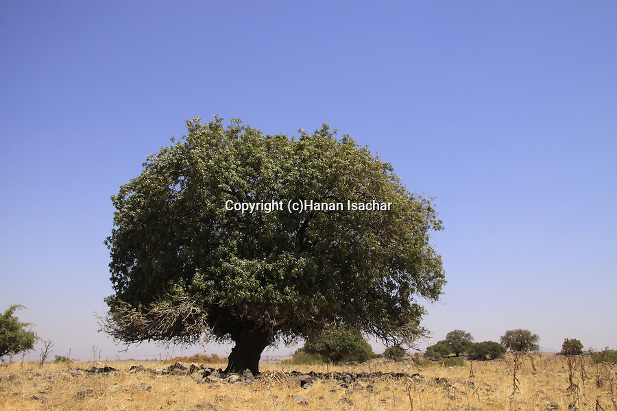 Atlantic Pistachio (Pistacia Atlantica) tree at the Golan Heights