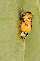 Multicolored Asian lady beetle (Harmonia axyridis), beetle emerging from pupa, New Braunfels, Hill Country, Central Texas, USA