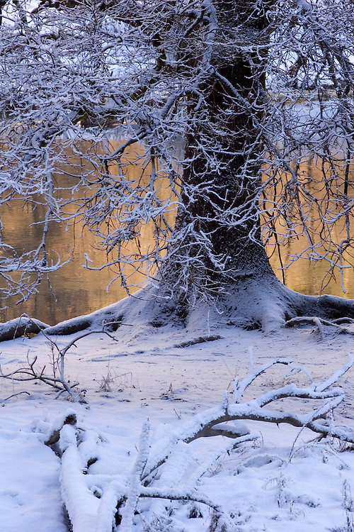 Cold blue snowy  tapestry and reflected warm cliff colors blend together creating an usual color harmony at a black oak tree standing alongside the Merced River in Yosemite valley.