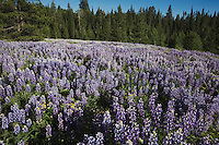 Silky Lupine (Lupinus sericeus), Grand Teton National Park, Wyoming, USA