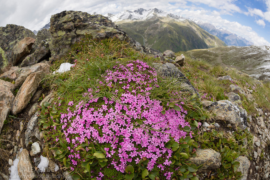 Moss Campion (Silene acaulis) photographed with a fisheye lens to show mountain environment. Nordtirol, Austrian Alps, Austria, July.