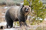 Grizzly bear. Bridger-Teton National Forest, Wyoming.