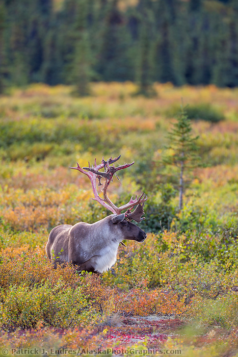 Bull caribou on the autumn colored tundra, Interior, Alaska.