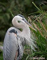 0111-0910  Great Blue Heron, Detail of Head and Beaks, Ardea herodias © David Kuhn/Dwight Kuhn Photography