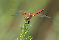 362700038 male band-winged meadowhawk sympetrum semicintum wild california