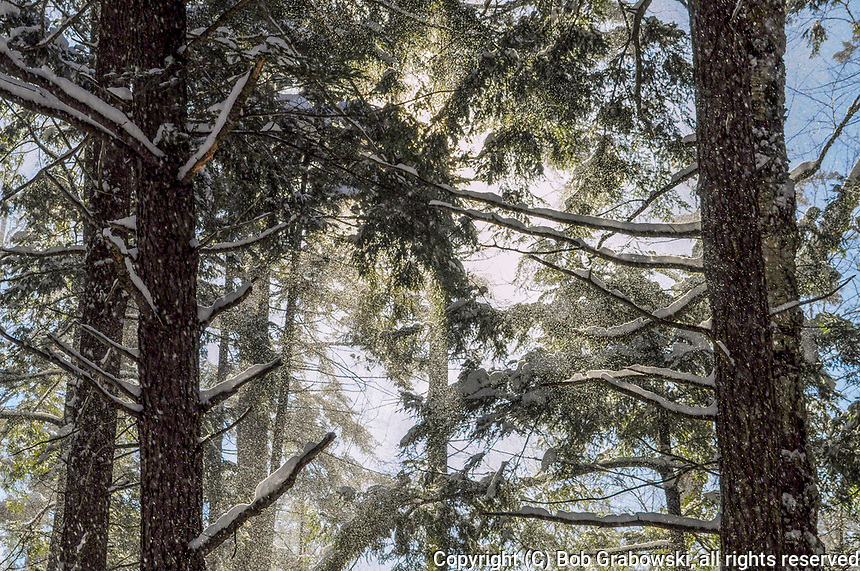 Falling snow and Eastern Hemlock Trees, Tsuga canadensis, in the Silver Lake Wilderness Area in the Adirondack Mountains Of New York State