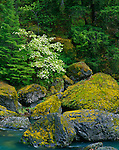 Umpqua National Forest, OR<br /> Mossy boulders with western dogwood (Cornus occidentalis) highlighting the spring forest above the North Umpqua River
