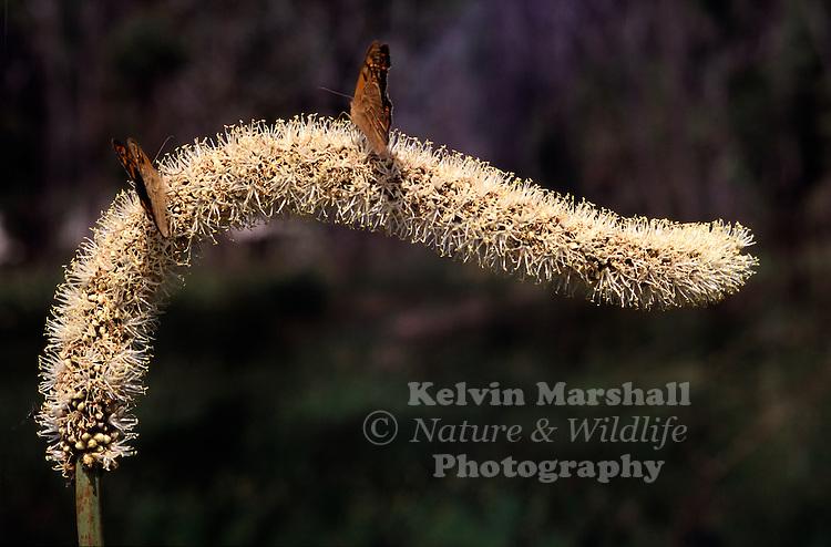 Butterflies feeding on a flowering grasstree.