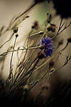 Blue flower with blurred background.