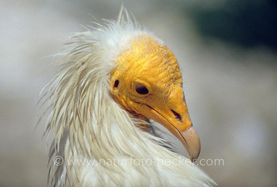 Schmutzgeier, Portrait, Schmutz-Geier, Geier, Neophron percnopterus, Egyptian vulture