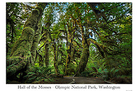 The Hall of the Mosses in the Hoh Rainforest, Olympic National Park.