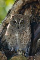 Madagascar Scops Owl sitting in tree hollow.