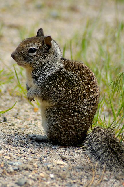 California Ground Squirrel Spermophilus beecheyi, Yosemite Valley, Yosemite National Park, California