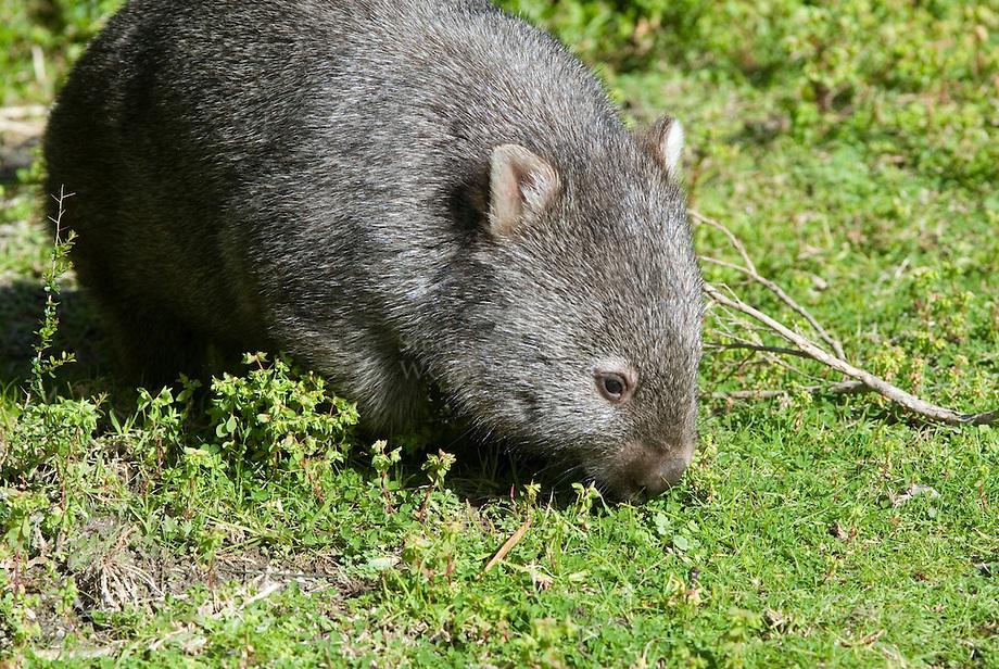 Gewone wombat (Vombatus ursinus)