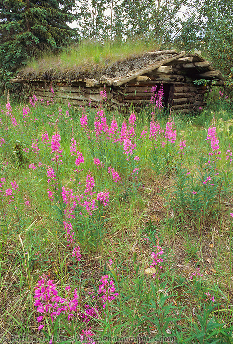 Fireweed wildflowers, and an old sod roof trappers log cabin in the Brooks Range, Alaska
