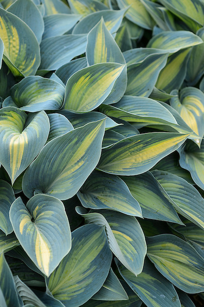 Hosta (Tardiana Group) 'June'