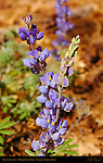 Brewer's Lupine, Lupinus breweri, Mirror Lake Trail in Spring, Yosemite National Park