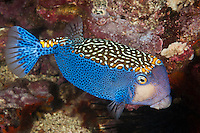RK70096-D. Spotted Boxfish (Ostracion meleagris). Widespread tropical Indo-Pacific oceans. Galapagos Islands, Ecuador, Pacific Ocean.<br /> Photo Copyright &copy; Brandon Cole. All rights reserved worldwide.  www.brandoncole.com