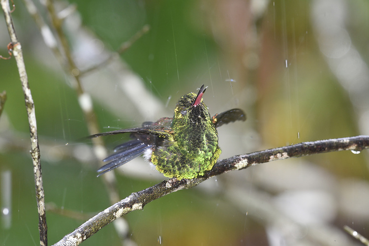 Copper-rumped Hummingbird - Amazilia tobaci