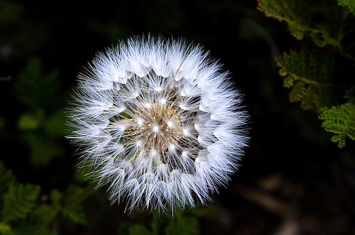 A DANDELION IN THE SIERRA NEVADA MOUNTAINS SPROUTS ITS SEEDS
