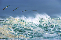 Brown Pelicans can often be seen in spectacular formation riding the crests of breaking waves along the shores of Monterey Bay. This image was captured after a winter storm, along the rugged coastline of Pacific Grove at Point Pinos, California.