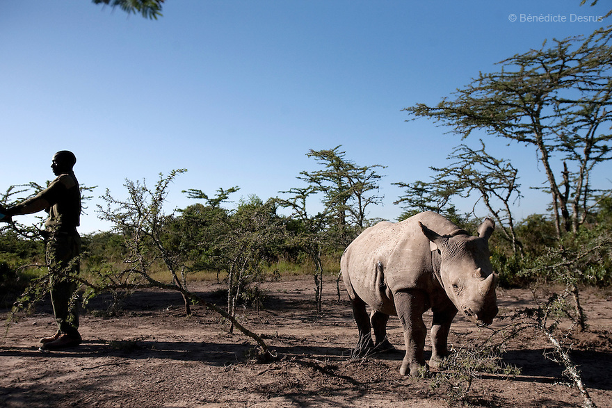 A Southern White Rhino at Ol Pejeta Conservancy, Laikipia, Kenya on January 17, 2010. On December 20, 2009, four of the world's last eight known surviving northern white rhinos were relocated from captivity back to the wild in a last bid to save them from extinction. The four rhinos, two males and two females, named Sudan, Suni, Fatu and Najin - were transferred by air from Dvur Králové Zoo in the Czech Republic to the Ol Pejeta Conservancy in Laikipia, Kenya. It is thought that the climatic, dietary and security conditions that the rhinos will enjoy at Ol Pejeta will provide them with higher chances of starting a population in what is seen as the very last lifeline for the species. Photo credit: Benedicte Desrus