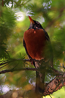 Red Breasted Robin - Turdus migratorius