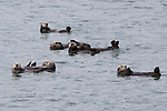Raft of Six Sea Otters in Prince William Sound, Alaska.  One is a mother and has a pup on her chest.