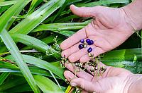 Kapa making on the Big Island: Berries and flowers of the 'uki'uki, a native Hawaiian plant used for dying kapa.