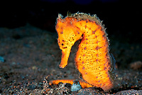 orange Common seahorse, Hippocampus kuda, Seraya Beach, Tulamben, Bali, Indonesia, Indopacific Ocean
