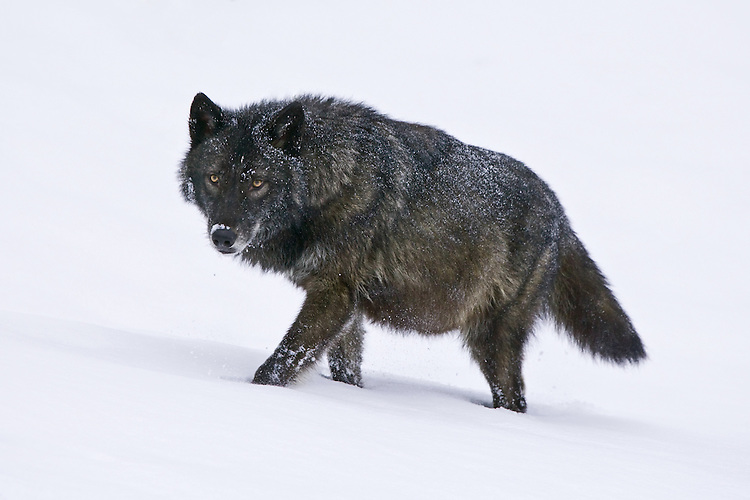 Grey Wolf walking through the snow - CA