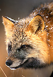 Red Fox, cross phase, Vulpes fulva, in snow, winter, Minnesota, USA, controlled situation.USA....