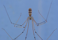 Harvest spider. Opiliones are an order of arachnids commonly known as harvestmen.