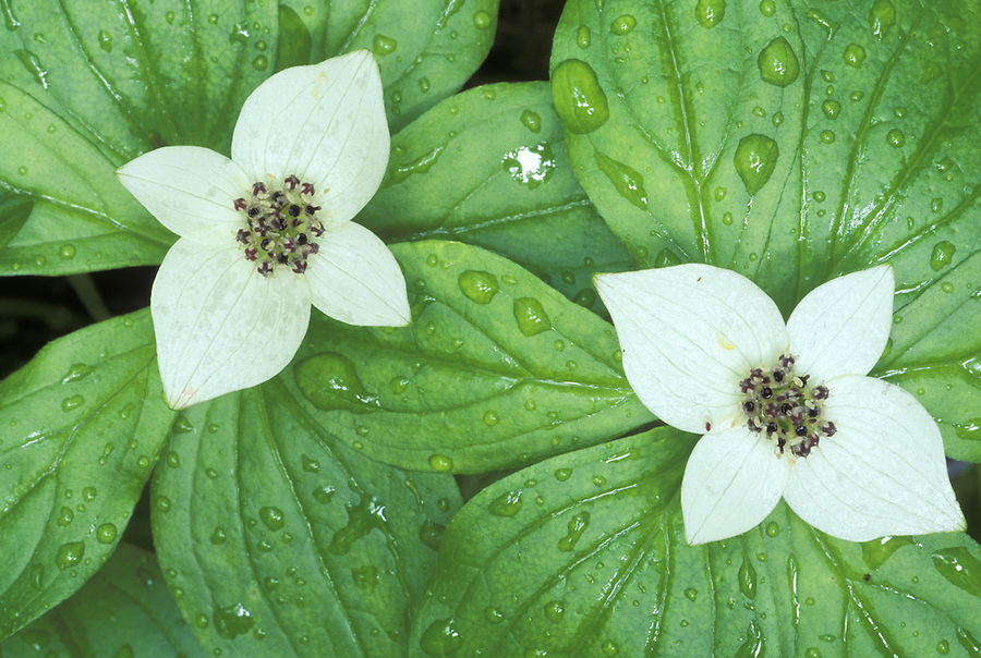 Bunchberry (Ground dogwood), Suiattle River Trail, Mount Baker-Snoqualmie National Forest, Cascade Mountains, Washington