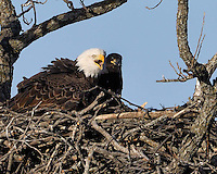Adult bald eagle vocalizes as eaglet watches.