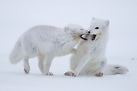 Two Arctic Foxes playfully bite on another.