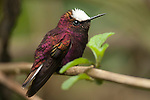 Male Snowcap Hummingbird (Microchera albocoronata), Costa Rica