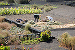 Two people sorting their onion crop in field near Uga, Lanzarote, Canary Islands, Spain