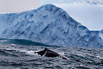 Humpback whale with copycat iceberg.
