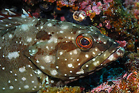 Flag Cabrilla (Epinephelus labriformis) between rocks, close-up, underwater view,, Ecuador, Galapagos Archipelago,