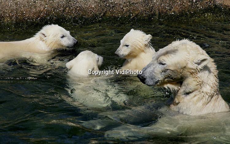 Foto: VidiPhoto..RHENEN - De pasgeboren jonge ijsbeertjes van Ouwehands Dierenpark in Rhenen genieten dinsdag van het mooie weer. Het was voor het eerst dat het grote publiek de mogelijkheid had om de dieren daadwerkelijk in het water te zien ravotten. De verzorgen hielpen een handje door grote klompen ijsappels in het water te gooien. De drie in november 2005 geboren jonkies mochten op 10 maart pas voor het eerst naar buiten.