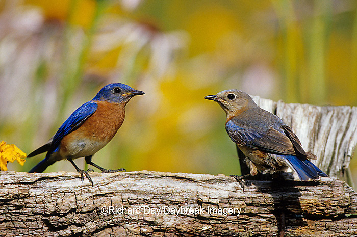 01377-15608 Eastern Bluebirds (Sialia sialis) male & female on fence near flower garden, Marion Co. IL