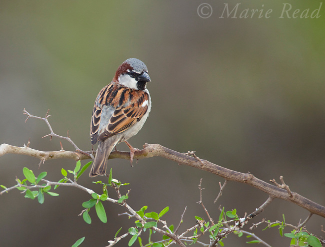 House Sparrow (Passer domesticus), male, Rio Grande Valley, Texas, USA. Introduced species.