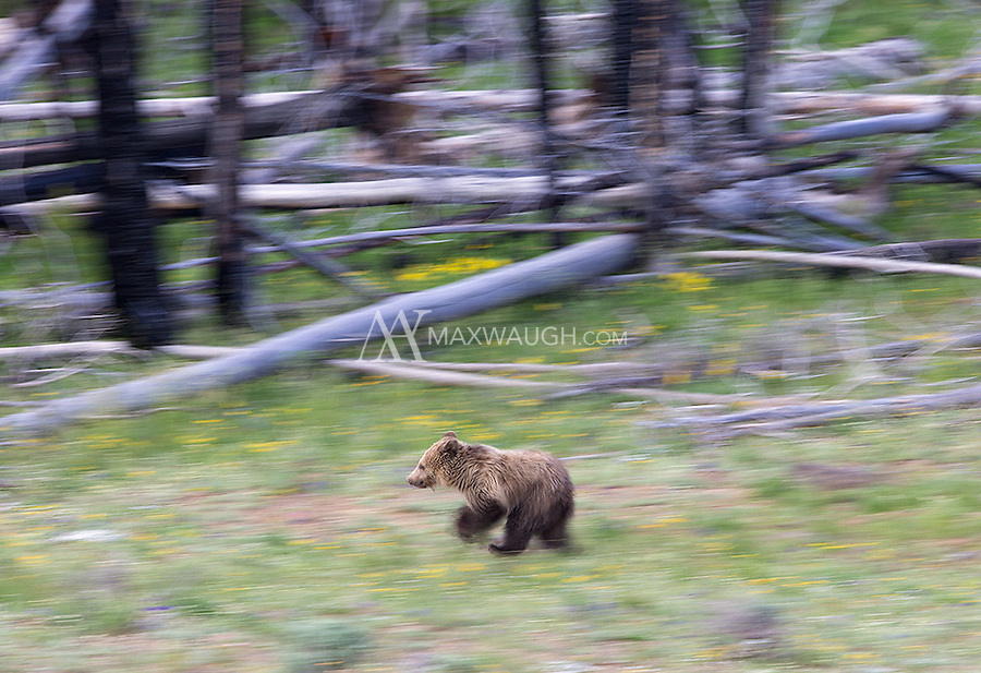 A young grizzly bear ambles through a meadow.