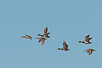 Mallard Ducks in flight, Bosque del Apache NWR