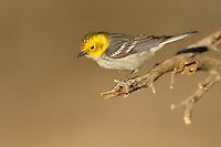 Hermit Warbler - Dendroica occidentalis - female