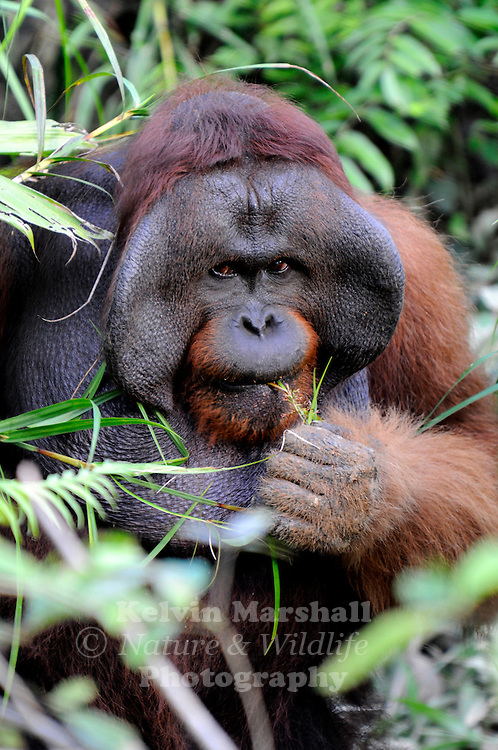Adult Male Orangutan (Pongo pygmaeus) - Samboja Lestari National Park is the location of Samboja Lodge as part of BOS (The Borneo Orangutan Survival Foundation)